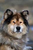 Sibirya av köpeği Laika, kızak köpek, Taimyr, Sibirya, Rusya,??,?? ????????? ??????, ??????, ??????, — Stok fotoğraf