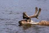 Reindeer, Rangifer tarandus, Caribou Taimyr, Siberia, Russia, Северный олень, плывет через реку. Весенняя миграция. Таймыр, — Stock Photo
