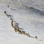 Argali Marco Polo. A flock of sheep Marco Polo in the Tien Shan mountains, in winter, Kyrgyzstan, — Stock Photo #53906749