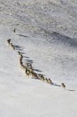 Owca dzika marco polo. stado owiec marco polo w górach tienszan, w zimie, kirgistan, — Stockfoto