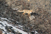 Red Fox in the mountains,  Red Fox on the rocky slope, — Stock Photo