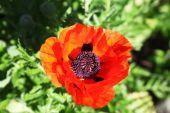 Красный цветок мака, вид сверху — Стоковое фото