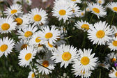 Flowers randomly (camomile) growing daisies, Ромашки — Stock Photo