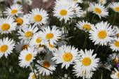 Flowers randomly (camomile) growing daisies, — Stock Photo