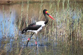 Setloglevel stork Jabiru hunting, saddle billed stork, Аист ябиру — Stock Photo