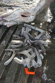Velvet antlers of the reindeer. Spring hunting of caribou Панты, рога оленя — Stock Photo