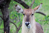 Female, Waterbuck shows blue tongue, — Stock Photo
