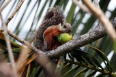 Palm squirrel eats the fruit — Stock Photo