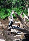 American anhinga, cormorant, pelecaniformes, water bird in Costa Rica — Stock Photo