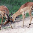 Two young male African antelope Impala beat horns — Stock Photo #57919447