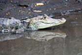 Cayman in Costa Rica. The head of a crocodile (alligator) closeup — Stock Photo