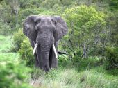 The adult male elephant is in the camera — Stock Photo