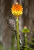 Lesser wattle bird feeding — Stock Photo