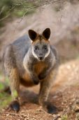 Swamp wallaby looking torwards viewer — Stock Photo