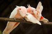 Major Mitchell's cockatoos — Stock Photo