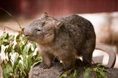 Wombat an Australian marsupial — Stock Photo