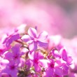Lilac flower with five petals macro — Stock Photo #67121467