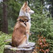 Melancholic shetland sheepdog sits on a tree stump — Stock Photo #52166289