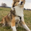 ������, ������: Alert and focused shetland sheepdog