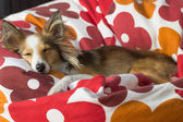 Tired and cute shetland sheepdog tries to sleep in a red-white bean bag — Stock Photo
