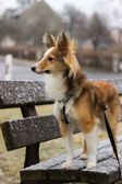Cute shetland sheepdog poses for the camera during a snowfall — Stockfoto