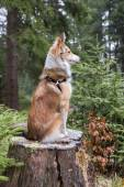 Melancholic shetland sheepdog sits on a tree stump — Stock Photo