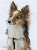 Cute dog portrait in the snow of an adorable shetland sheepdog — Stock Photo
