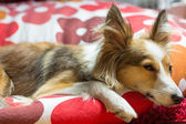 Cute shetland sheepdog looks sad and in sorrow while resting — Стоковое фото