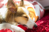 Cute and very tired shetland sheepdog is trying to sleep — Stock Photo