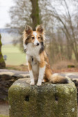 Sad shetland sheepdog sitting on a stone — Stock Photo