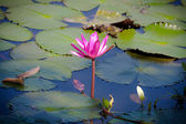 Purple lotus and leaf on water — Stock Photo