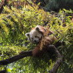 Red panda on tree — Stock Photo #52492033