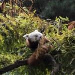 Red panda on tree — Stock Photo #52492045