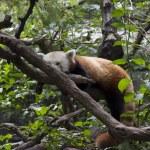 Red panda on tree — Stock Photo #52492199
