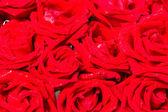 Přírodní červené růže s pozadím kapky vody — Stock fotografie
