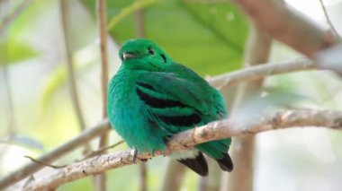 Green Broadbill (Calyptomena viridis) bird in vivid green color — Stock video
