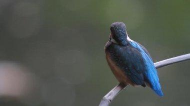 Common kingfisher ( Alcedo atthis) — Stock Video
