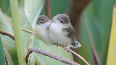 The Plain Prinia, or the Plain, or White-browed waiting for food from the mother — Stockvideo