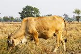 Cows graze in a field width — Stock Photo