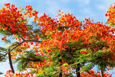 Royal Poinciana flame tree bright red — Stock Photo