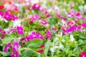 Blurred flowers Catharanthus roseus and  background abstract — Stock Photo