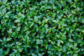 Green leaves texture for background — Stock Photo