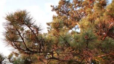 Coniferous pine wood — Vidéo