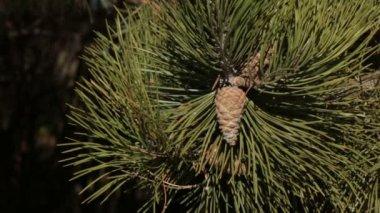 Pine branch — Vidéo