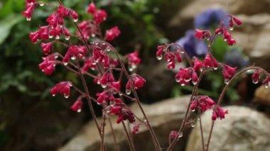 Water drops falling on flower — Stock Video
