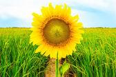 Sun flower — Stock Photo