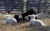 Four lambs laying down — Stock Photo