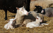 Sheep family resting in the sun — Stok fotoğraf