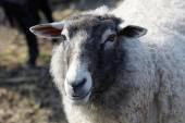 One sheep white and gray — Stock Photo