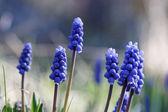 Grupo de azul común Muscari comosum — Foto de Stock